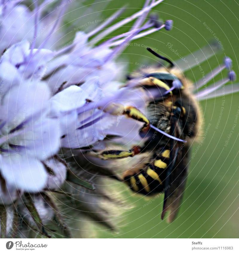 beim Naschen Natur Pflanze Tier Sommer Blume Blüte Wildpflanze Nektarpflanze Sommerblumen Wespen Insekt Fressen lecker nah grün violett Nahrungssuche sommerlich