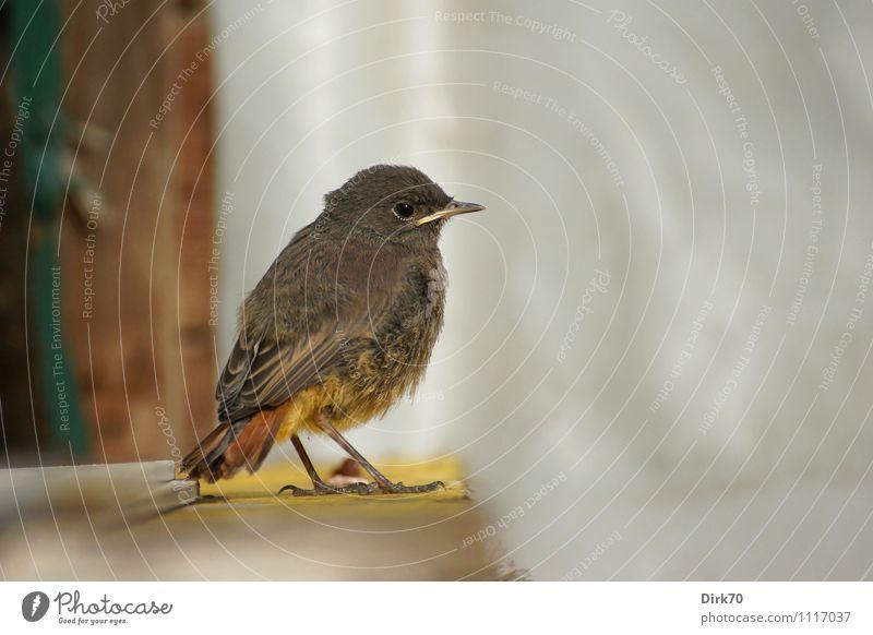 Komm nicht näher! Umwelt Natur Garten Tier Wildtier Vogel Singvögel Hausrotschwanz Gartenrotschwanz 1 Tierjunges beobachten hocken sitzen warten klein natürlich