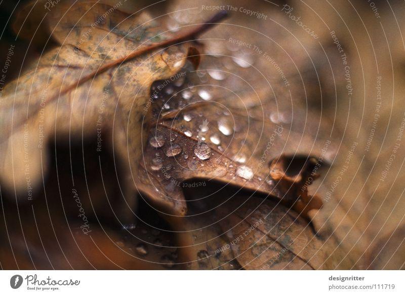 Charakter Herbst Blatt Herbstlaub Eiche Eichenblatt vergangen welk braun schön alt November kalt grau nass ungemütlich mögen fallen Tod Regen Wassertropfen