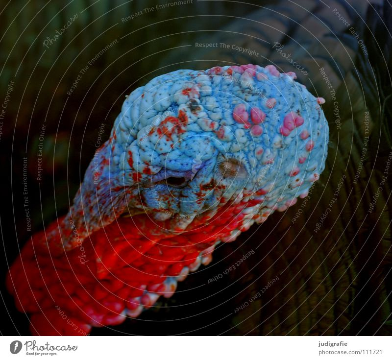 Truthahn Vogel Tier Bauernhof Feder Schnabel rot Aggression Feiertag Fleisch Lebensmittel Farbe Kamm Stolz Außerirdischer festtagsbraten Erntedankfest