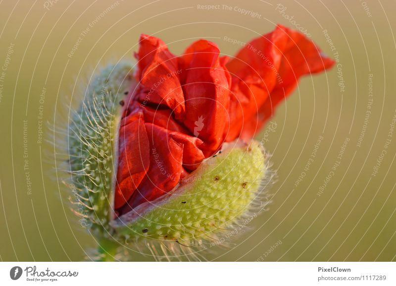 aufgehende Mohnkapsel Natur Ferien & Urlaub & Reisen Pflanze schön Sommer Blume rot Landschaft Umwelt Gefühle Blüte Garten Stimmung Lifestyle Feld Wachstum