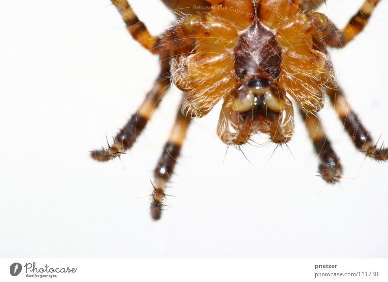 Spinne von unten Insekt Makroaufnahme braun Ekel gefährlich Panik Angst Nahaufnahme spider insect Beine bedrohlich