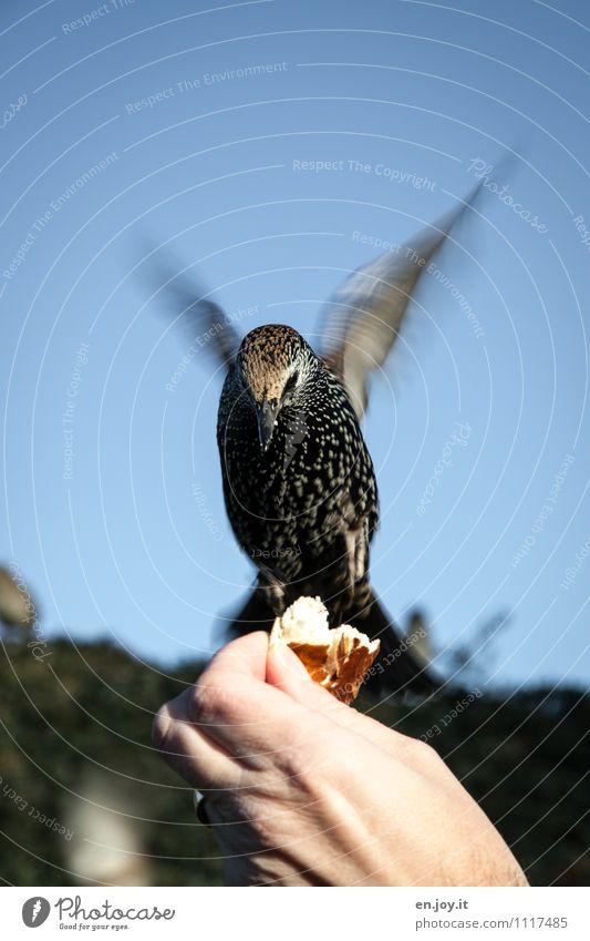 alle weg, jetzt komm ich Brötchen Hand Wolkenloser Himmel Schönes Wetter Tier Wildtier Vogel Star 1 fliegen Fressen füttern außergewöhnlich Vertrauen Tierliebe