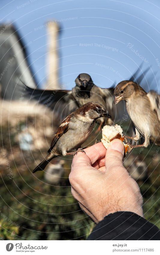 wer zuerst kommt... Brötchen Hand Wolkenloser Himmel Schönes Wetter Park Tier Wildtier Vogel 3 fliegen Fressen füttern hocken außergewöhnlich Vertrauen