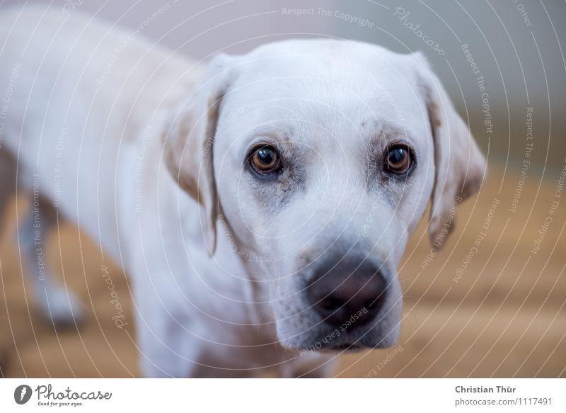 Max war wieder mal neugierig Umwelt Tier Haustier Hund Labrador 1 atmen beobachten entdecken leuchten ästhetisch sportlich Freundlichkeit schön muskulös dünn