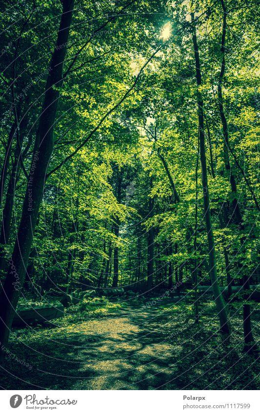 Grüner Wald schön Sommer Sonne Umwelt Natur Landschaft Pflanze Frühling Baum Blatt Park Wege & Pfade Wachstum dunkel frisch natürlich grün Idylle Sonnenschein