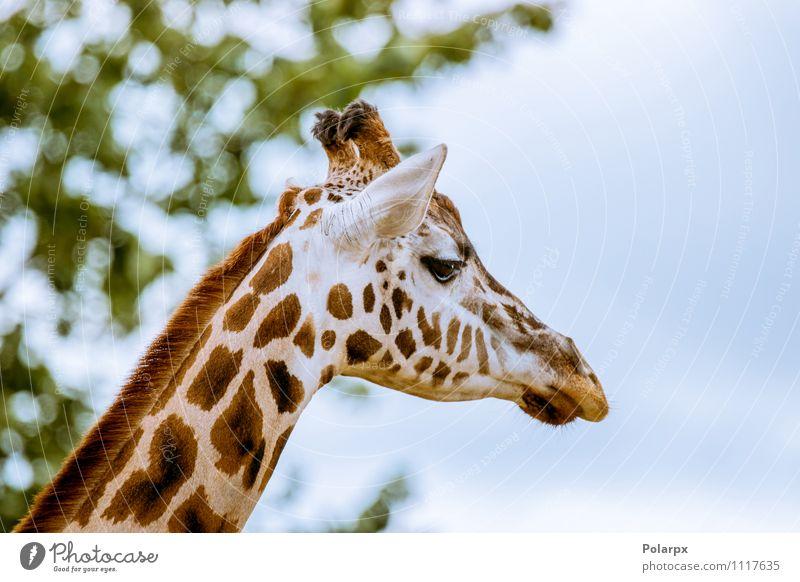 Giraffenkopf Körper Safari Sommer Spiegel Zoo Umwelt Natur Landschaft Tier Himmel Baum Gras Sträucher Park Wald hoch natürlich wild blau Einsamkeit Farbe eine