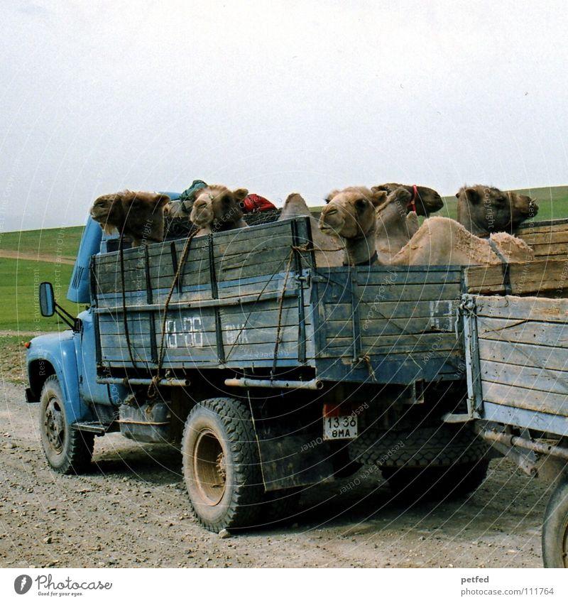 Hitchhikers Natur Himmel Ferien & Urlaub & Reisen Tier Ferne Straße Erde wandern Abenteuer fahren Wüste Asien Lastwagen Säugetier Steppe Völker