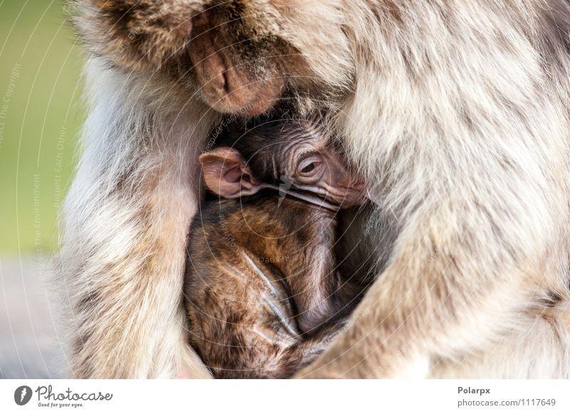 Affe hält sein Baby fest Essen Gesicht Kind Mann Erwachsene Mutter Familie & Verwandtschaft Zoo Natur Tier Gras Pelzmantel Behaarung hängen niedlich wild braun