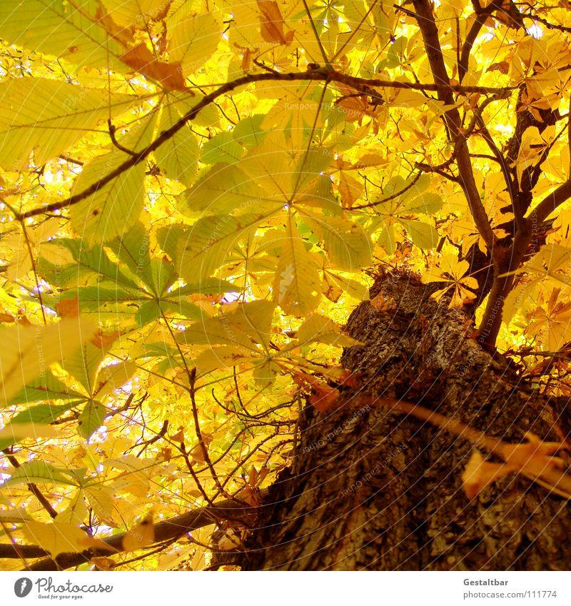 Herbstgeruch Blatt gelb Baumstamm Kastanienbaum Baumkrone Rauschen Oktober Abschied Saison Jahreszeiten Vergänglichkeit gestaltbar fallen Lampe Ende gold