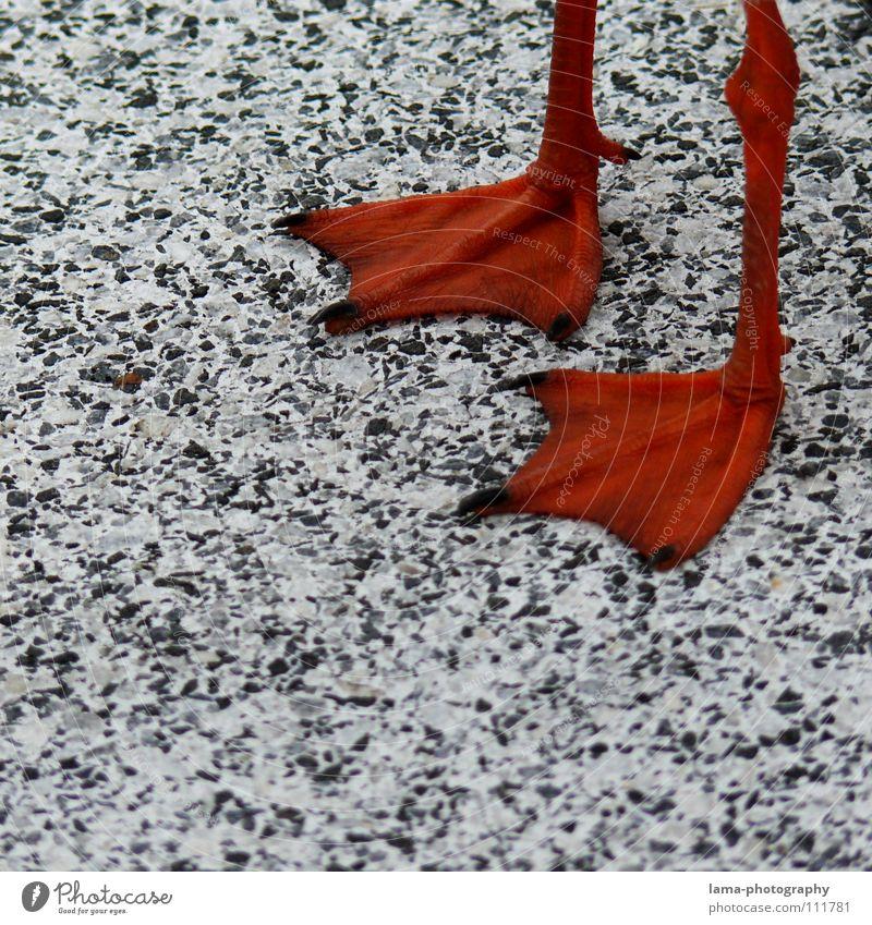 Happy Feet rot Tier Farbe Schnee Stein Beine Vogel orange Schuhe gehen warten laufen Beton Tierfuß stehen Bodenbelag