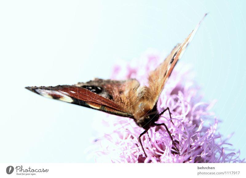 naschen Himmel Wolkenloser Himmel Frühling Sommer Schönes Wetter Blume Garten Park Wiese Schmetterling Flügel berühren Blühend Essen fliegen schön blau braun