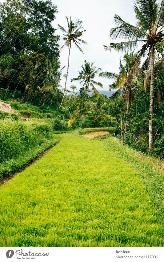 Reis in Bali Ubud Asien Indonesien Reisfeld grün Feld Ferien & Urlaub & Reisen Landwirtschaft Reisernte Urwald tropisch Reisefotografie Natur Aussaat Saatgut