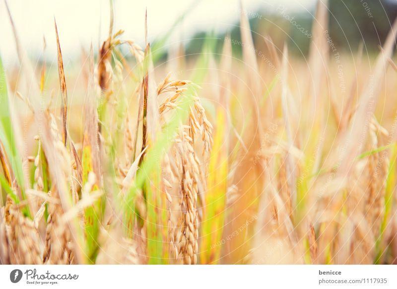 Reispflanze Bali Ubud Asien Indonesien Reisfeld grün Feld Ferien & Urlaub & Reisen Landwirtschaft Reisernte Urwald tropisch Reisefotografie Natur Aussaat