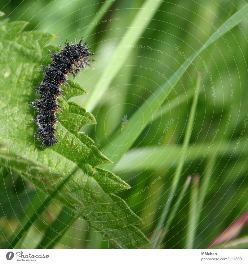 Next year I´ll be a Butterfly... Schmetterling Tier Pflanze krabbeln Brennnessel Sommer Frühling Insekt verwandeln schwarz grün Tagpfauenauge Vergänglichkeit