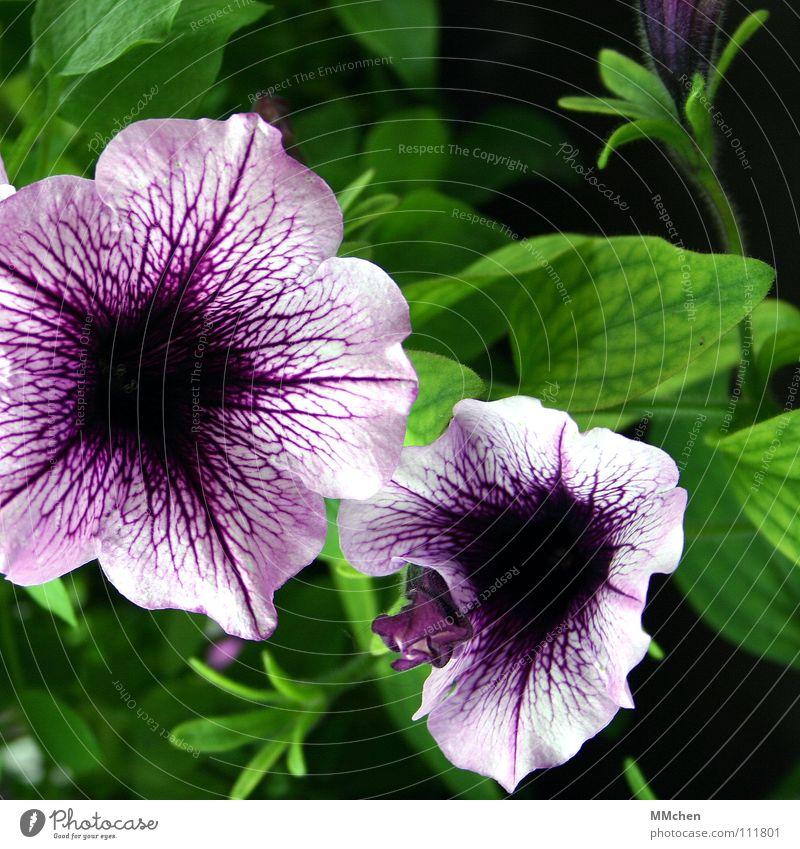 Wann war eigentlich Sommer? Blume Pflanze Balkon violett grün Frühling Wiese Blüte Petunie Japan Reifezeit Nachtschattengewächse Trichter Gefäße Makroaufnahme