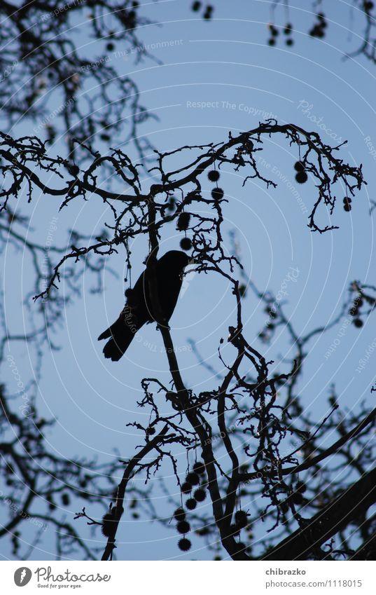 Schwarzes Federvieh Himmel Baum Wildtier Vogel Krähe frei trist blau schwarz Gedeckte Farben Außenaufnahme Silhouette Froschperspektive