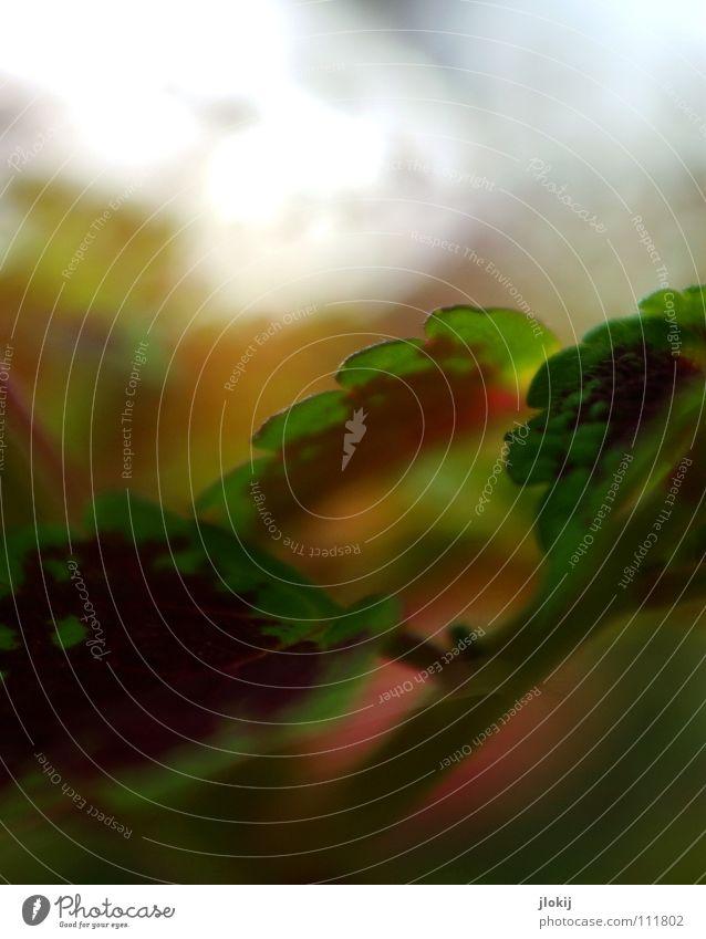 Pflanzen brauchen Licht Zierpflanze Wachstum Unschärfe Ecke Zickzack grün rot Muster Natur Blatt Biologie Hintergrundbild Bewegung elegant zart weich Begonien