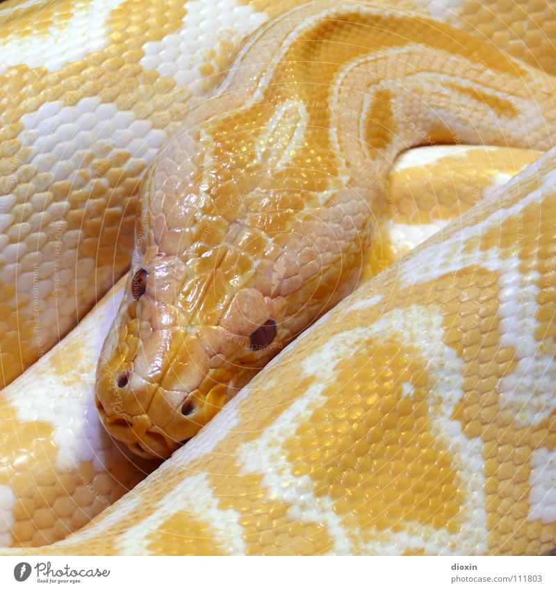 Python molurus - Albino (2) Natur weiß Tier gelb braun glänzend Wildtier Paradies Tiergesicht Zoo Thailand Schlange Sünde Farbe Terrarium häuten