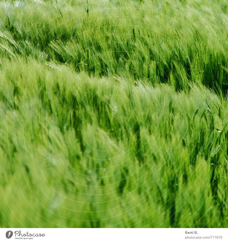 bloß kein Weizen grün Farbe Wind weich Korn Kornfeld Ähren Roggen