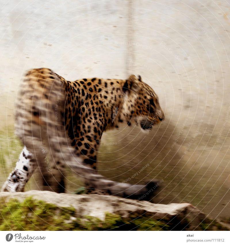 Hips Don't Lie Tier Futter Wachsamkeit Kontrolle Jäger Jagd krumm Angst Leopard Spielen ruhig Konzentration Pfote Schwanz Landraubtier Raubkatze Katze Säugetier