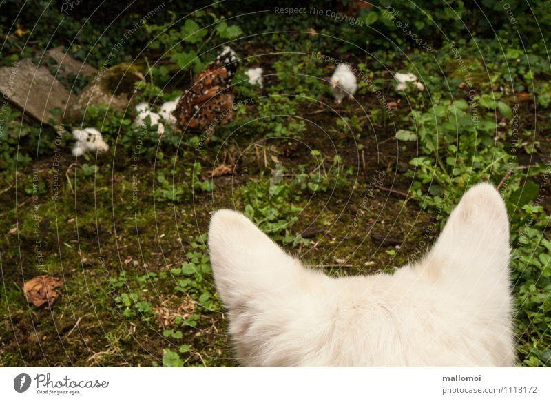 Hund beobachtet Huhn und Küken Natur Tier Haustier Nutztier Tiergruppe beobachten fangen Fressen füttern Jagd natürlich Haushuhn bewachen achtsam Vorsicht