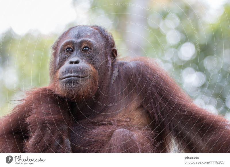 Orang Utan im Regenwald Tier Wildtier 1 Fährte Tierliebe Abenteuer Tierporträt