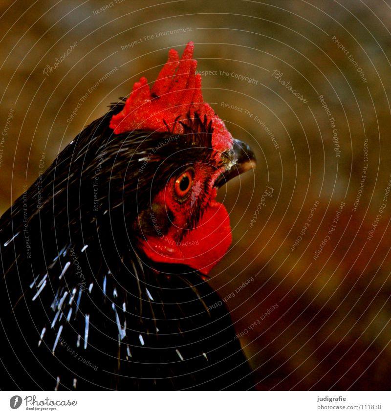 Huhn Haushuhn Haustier Feder Federvieh Schnabel Landwirtschaft Bauernhof Vogel rot Farbe das scharlachrote kampfhuhn