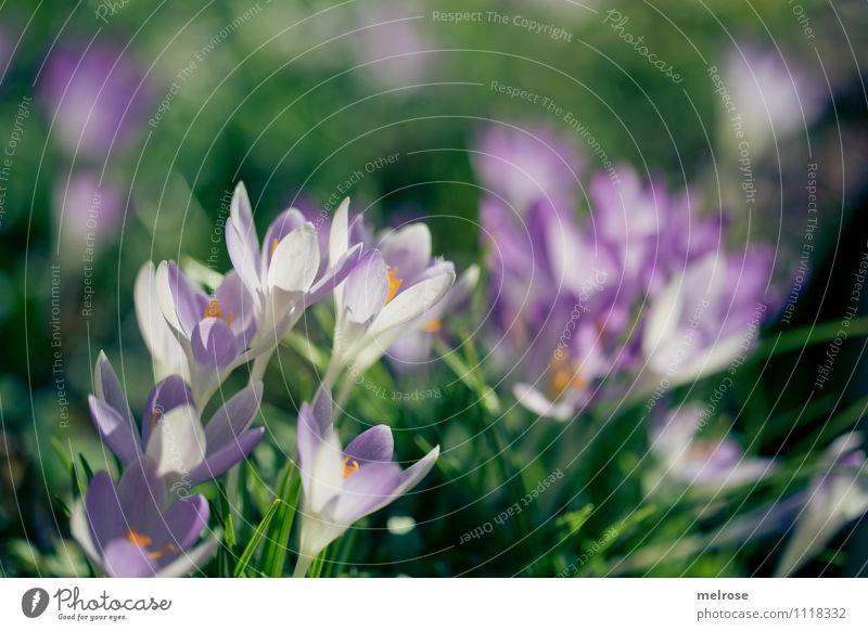 grün-lila elegant Stil Sonnenbad Natur Frühling Schönes Wetter Blume Gras Blüte Wildpflanze Blütenstempel Krokusse Frühblüher Garten Blühend Erholung leuchten