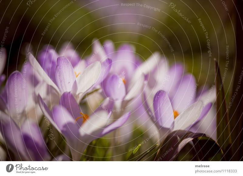 Gruppendynamik Stil Sonnenbad Natur Frühling Blume Gras Moos Blüte Wildpflanze Blütenkelch Blütenstempel Frühblüher Krokusse Garten Blühend leuchten