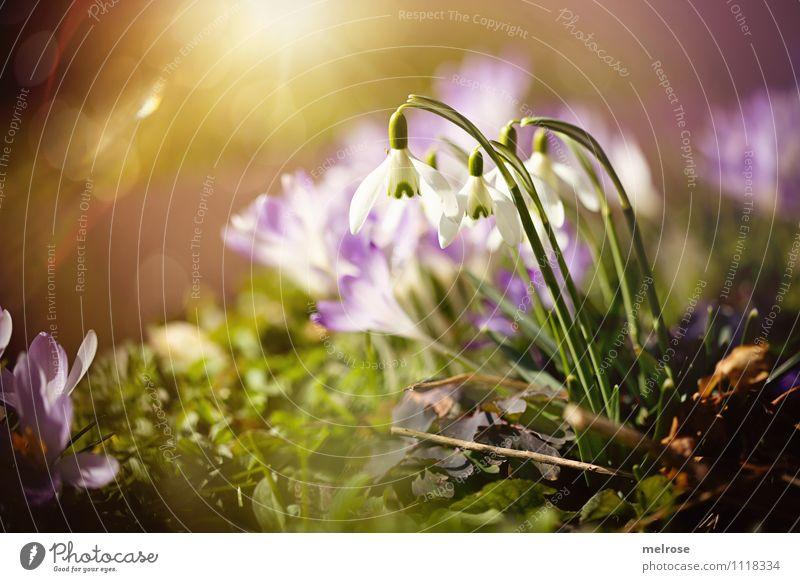 Frühlingsbrise II Stil Sonnenbad Natur Pflanze Sonnenlicht Blume Gras Blatt Blüte Wildpflanze Frühblüher Schneeglöckchen Krokusse Blütenkelch Blütenstiel Garten