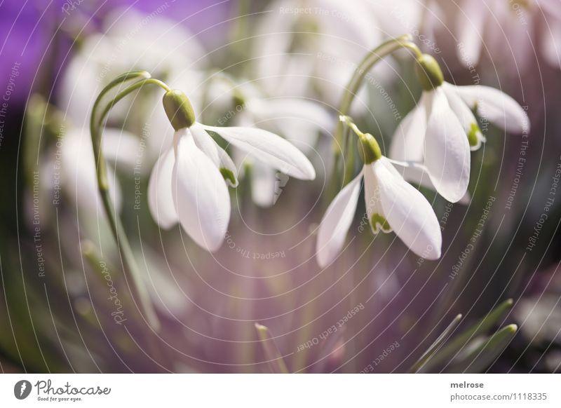 Blüten-Drillinge elegant Stil Natur Frühling Schönes Wetter Blume Blatt Wildpflanze Schneeglöckchen Frühblüher Blütenkelch Blütenstiel Halm Garten Farbfleck
