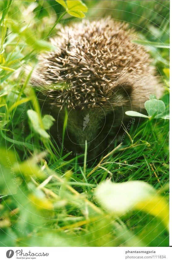 Haha...du siehst mich nicht!! Igel Wiese Herbst Schüchternheit grün klein niedlich stachelig Tier Klee Gras Schwäche Säugetier verstecken Stachel Tierjunges