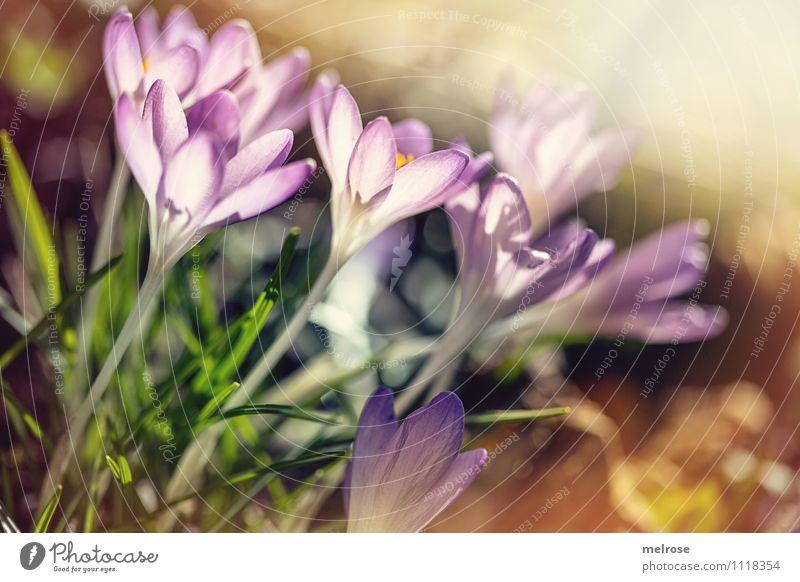 angenehm warm elegant Stil Valentinstag Natur Pflanze Erde Sonnenlicht Frühling Schönes Wetter Blume Gras Blüte Wildpflanze Frühblüher Krokusse Blütenstiel
