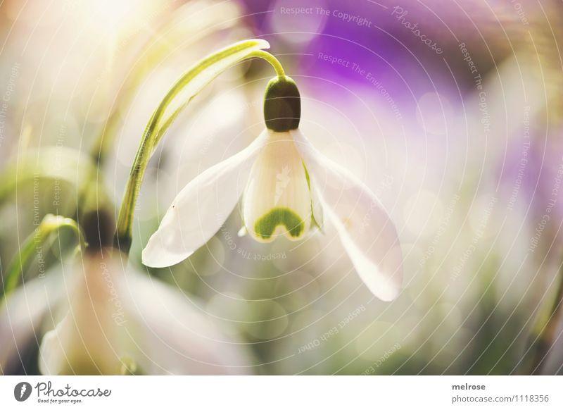 Lichtpunkte II elegant Stil Natur Pflanze Sonne Frühling Schönes Wetter Blume Blatt Blüte Schneeglöckchen Blütenknospen Blütenstiel Frühblüher Garten Farbfleck