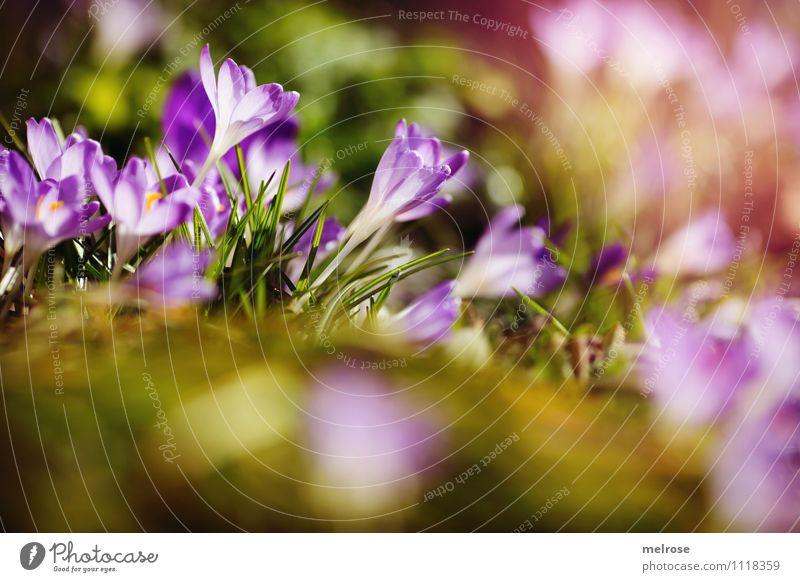 Frühlingsbrise elegant Stil Sonnenbad Natur Erde Sonnenlicht Blume Gras Moos Blatt Blüte Wildpflanze Frühblüher Krokusse Halm Wiese Unschärfe Blühend Erholung