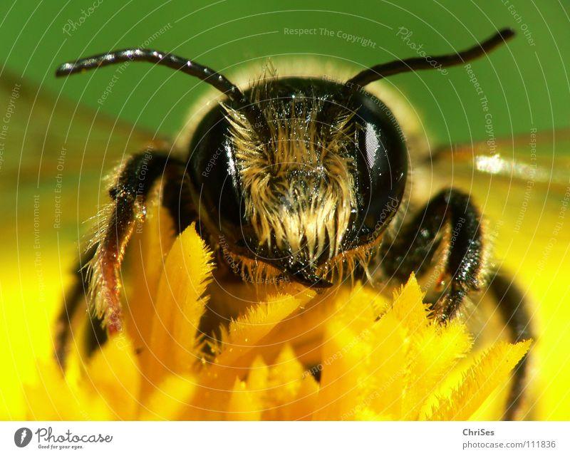 Erdbiene ( Andrena florea ) 03 grün Sommer schwarz Auge Ernährung Tier gelb Frühling Insekt Biene Sammlung Fühler gestreift Honig fleißig Wespen