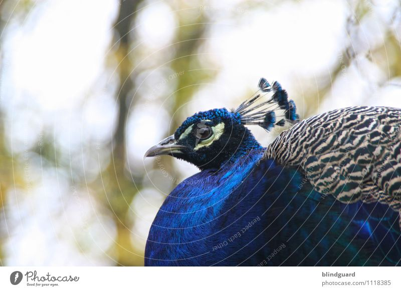 Blue blau schön weiß Tier schwarz Auge grau Vogel Zufriedenheit Wildtier Feder ästhetisch Flügel Tiergesicht Zoo Schnabel
