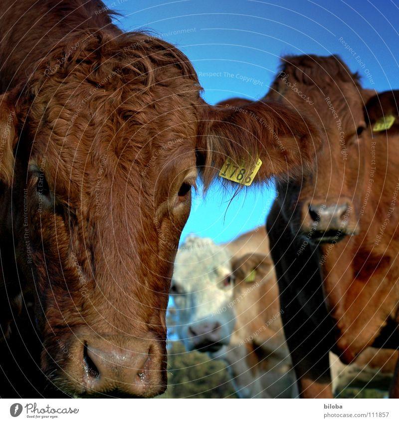 Was guckscht du so Kuh braun Vieh Milchkuh Blick Kalb muhen Schnauze kalt feucht nass Nasenloch atmen Gras Butter Landwirtschaft Außenaufnahme Tier Glotzvieh
