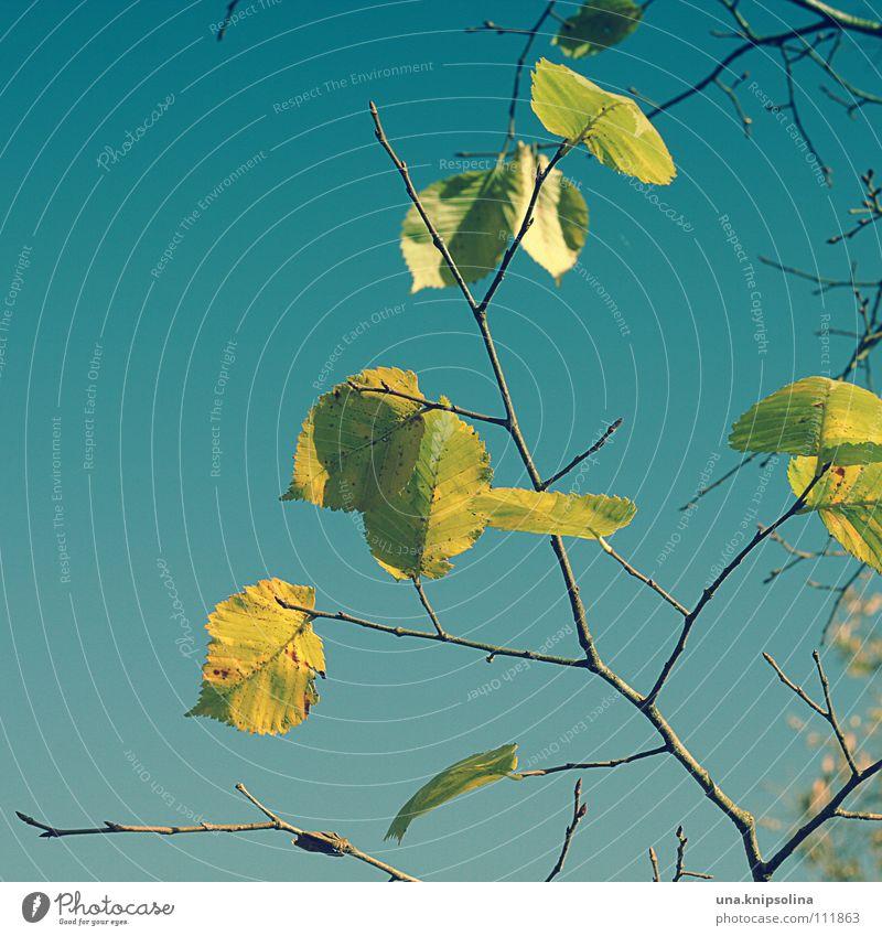herbstlich Winter Natur Herbst Baum Blatt fallen frieren kalt blau gelb färben Jahreszeiten Farbfoto Außenaufnahme