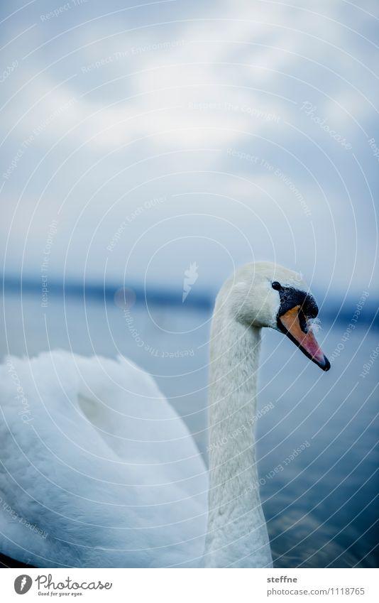 Tierisch gut: Schwan Vogel 1 schön Nahaufnahme Farbfoto Außenaufnahme Menschenleer Textfreiraum oben Dämmerung Schwache Tiefenschärfe Tierporträt