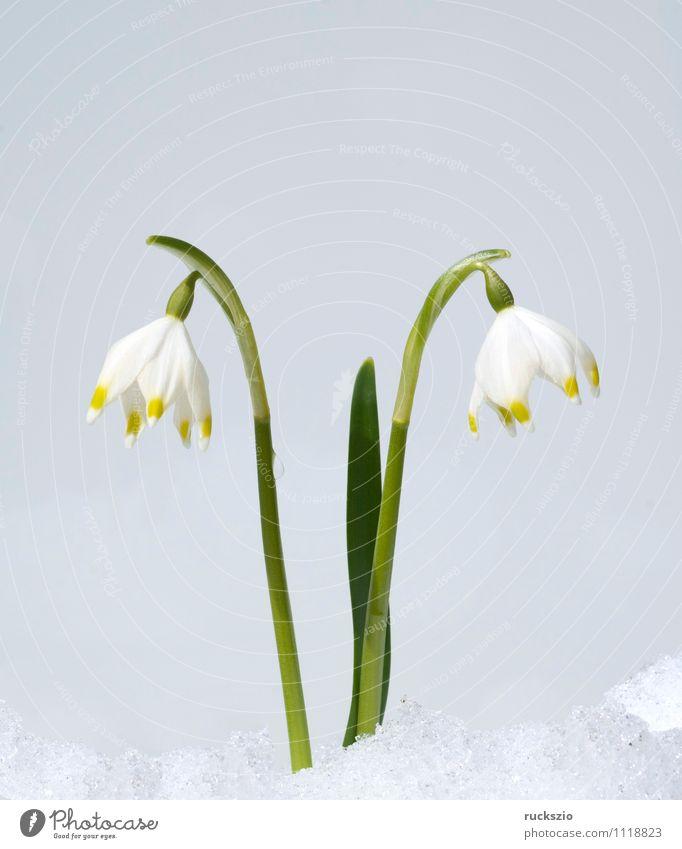 Maerzbecher Natur Pflanze weiß Blume Winter Wald Wiese Blüte Garten Park Feld frei groß Stillleben Schlag Objektfotografie