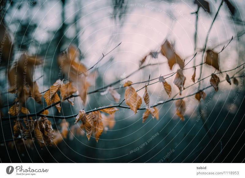 Letzte Grüße vom Winter Natur Pflanze Schönes Wetter Baum Blatt Wald verblüht dehydrieren dunkel trocken braun Einsamkeit Ende Vergänglichkeit welk