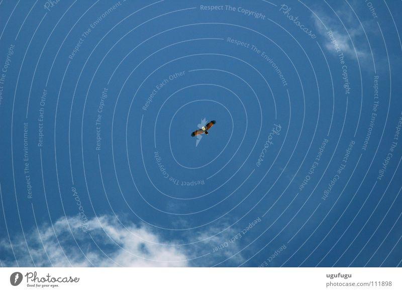 Eagle Himmel Vogel blue eagle sky cloud clear flight bird day flying wings