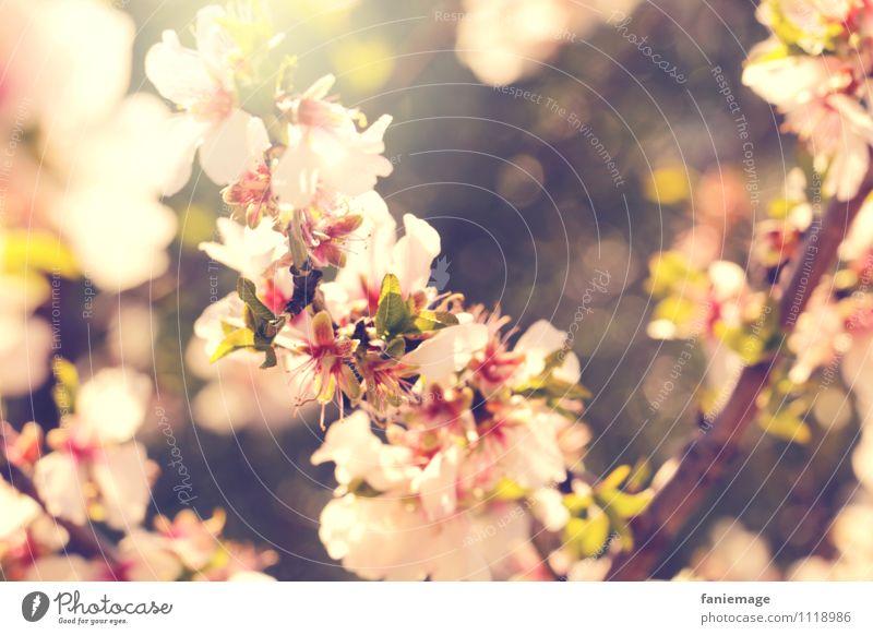 Kirschblüten Natur Garten Park Wiese Feld hell schön Wärme braun grün rosa weiß Kirsche Kirschblütenfest Zweige u. Äste Warmes Licht Sonnenstrahlen Provence