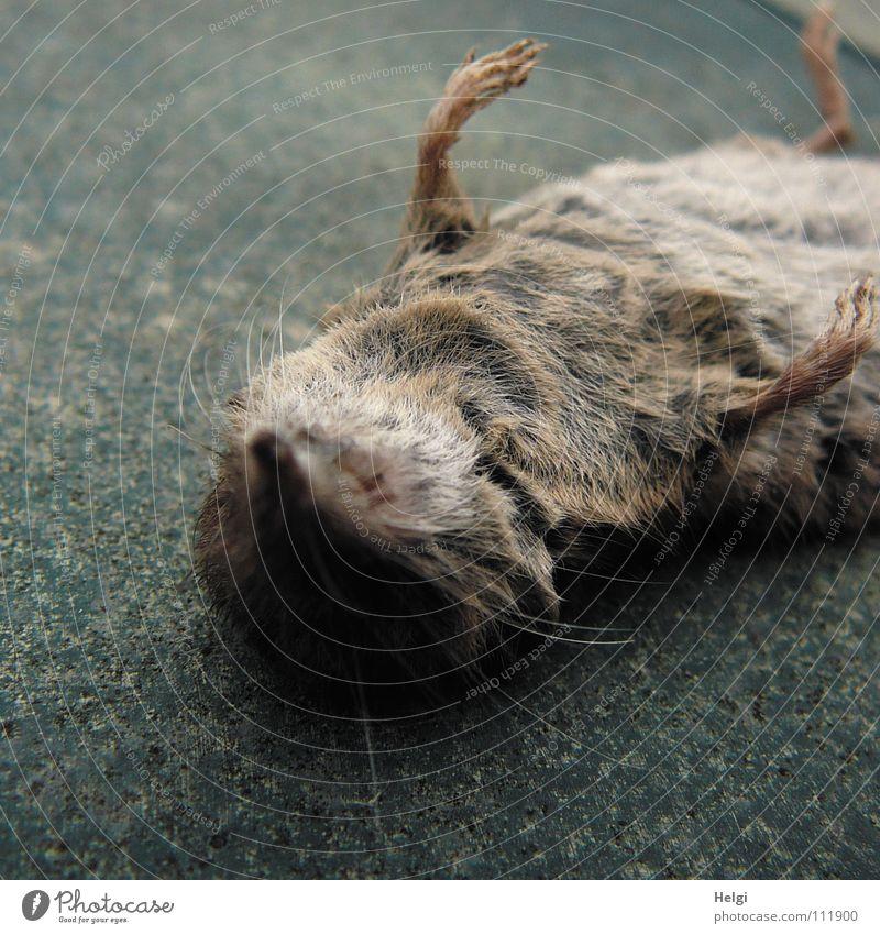 mausetot... weiß Straße Tod grau Beine Fuß braun rosa liegen Nase Vergänglichkeit Fell Maus Pfote Säugetier