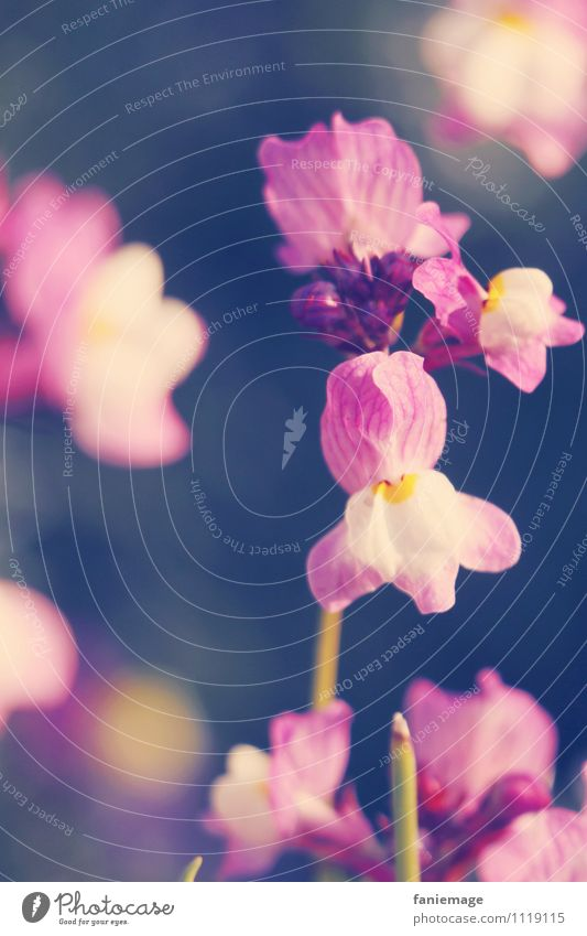 fleur sur le long champ Umwelt Natur Pflanze Sonne Sonnenaufgang Sonnenuntergang Sonnenlicht Frühling Sommer Schönes Wetter Blume schön Wärme violett rosa Blüte