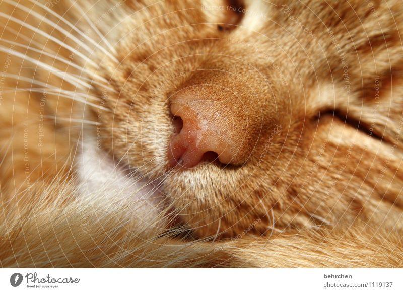 schlummern Katze schön ruhig Tier Liebe orange träumen wild niedlich Warmherzigkeit schlafen Nase Schutz Fell Haustier Tiergesicht