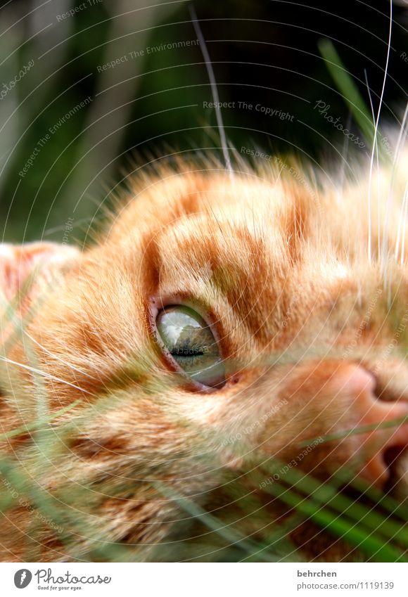 ein augenblick... Natur Gras Garten Haustier Katze Tiergesicht Fell beobachten entdecken Blick außergewöhnlich Glück kuschlig niedlich schön orange Coolness