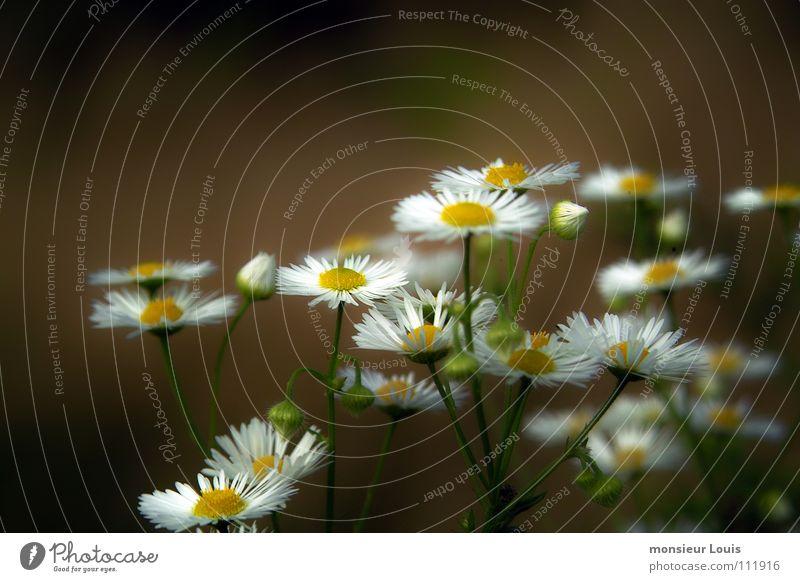 fleurs des champs Natur Blume Sommer gelb Wiese Poster
